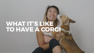 What It's Like To Own A Corgi | CORGI FACTS
