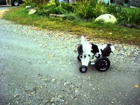 An Eddie S Wheels Front Leg Dog Wheelchair For Sugar Youtube