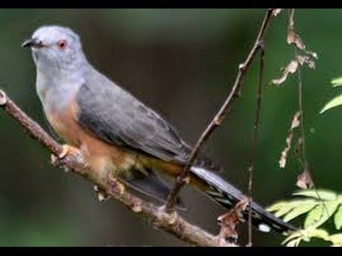Burung  Paling KURANG AJAR