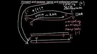 Forward and reverse, sense and antisense primers