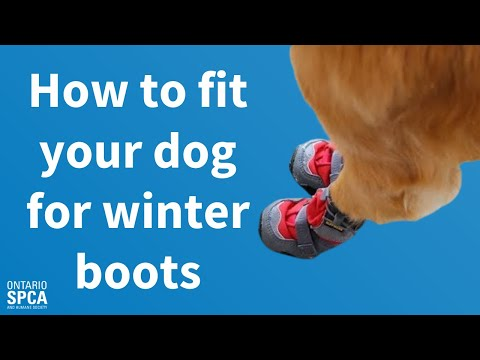 How To Fit Your Dog For Winter Boots