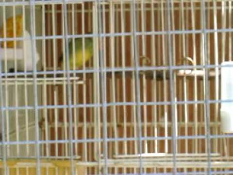 Breeding Behaviors - Finch Info