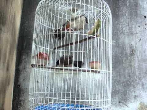 Chim Bông Lau