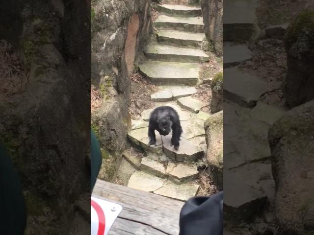El vídeo de la semana: este chimpancé lanza un excremento a la cara de una anciana