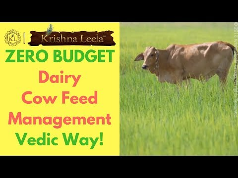 Zero Budget Dairy Cow Feed Management - Vedic Way!