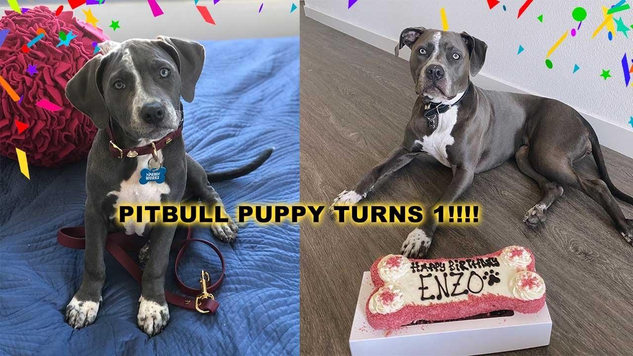 PITBULL PUPPY'S FIRST BIRTHDAY!!! *SOO CUTE*