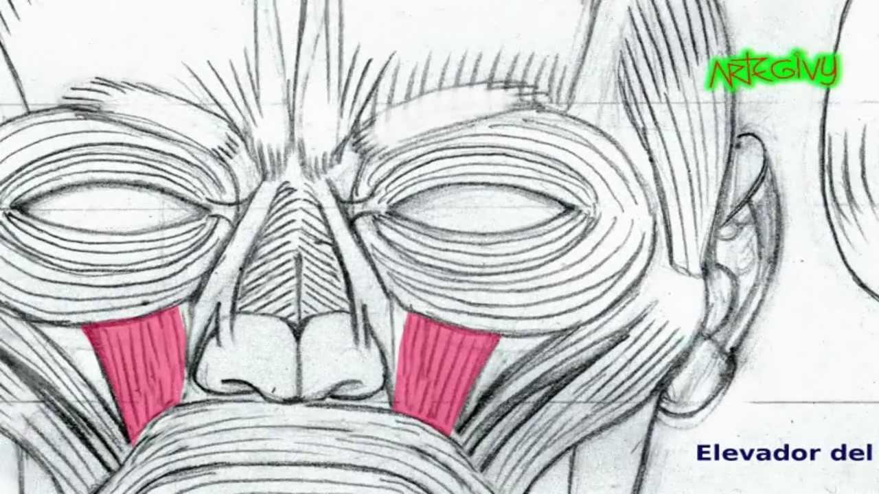 DIBUJO ARTÍSTICO PROFESIONAL -Los Músculos del Rostro- - YouTube