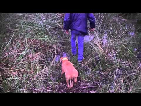 Pig hunting collie wa