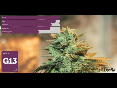 G13 Indica Review: Silver State Genetics