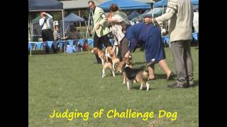 Beagle Club Of Nsw (aust) Champ Show; 3 April 2010 - Judging Dog Challenge