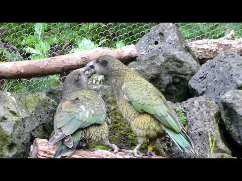 Kea Feeding Each Other (New Zealand Alpine Parrot)