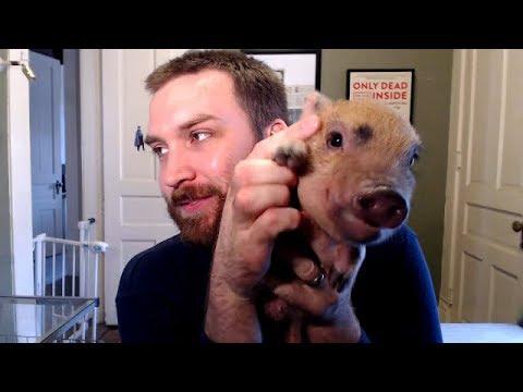 Why You Shouldn't Get a Mini Pig