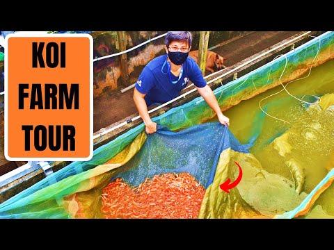 KOI BREEDING FARM