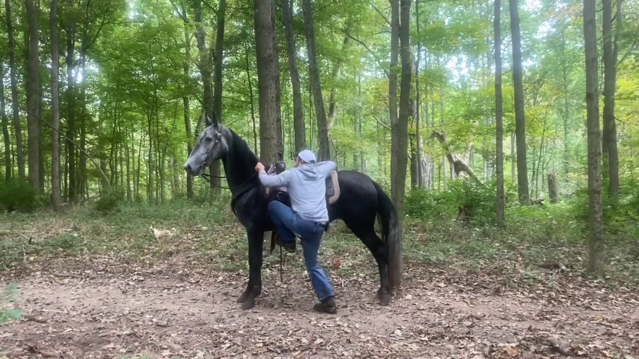 Now do you like me, Registered dapple gray walking horse mare, sky watch on her papers.
