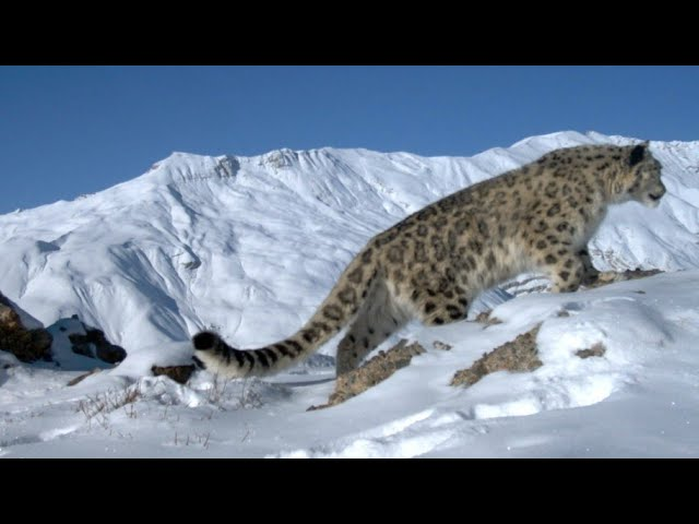 #takemetohimalayas Snow Leopards in Summer 2019 in Spiti Valley
