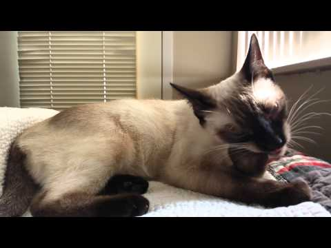 Aeris, my young chocolate point Siamese cat, biting her nails and lying on my bed