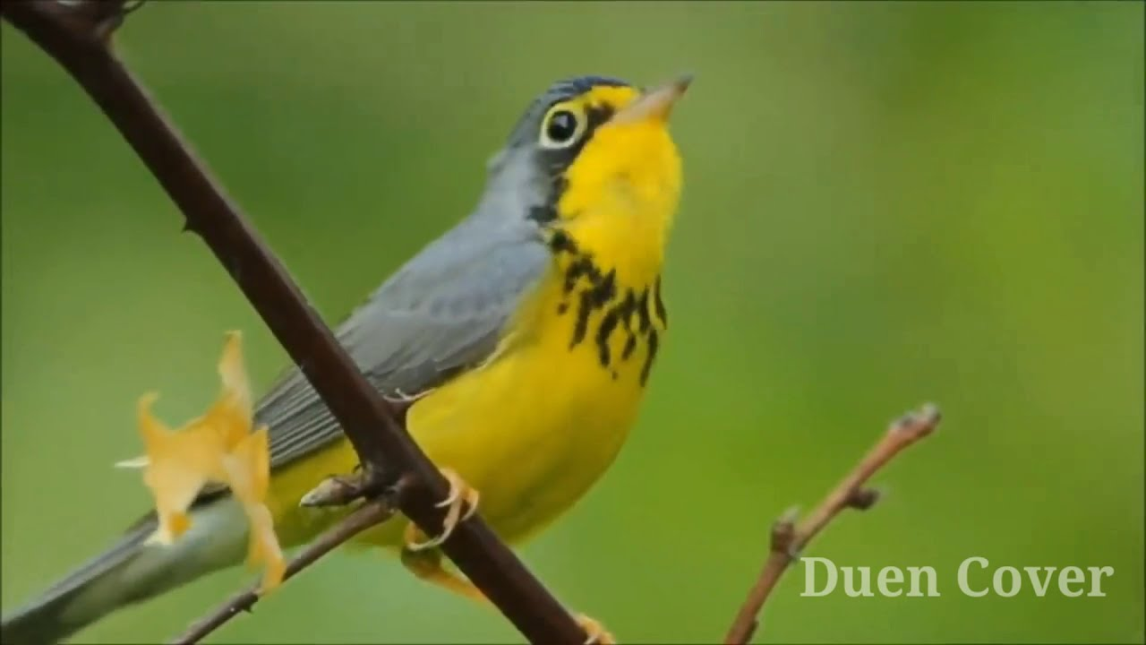 Merdunya Suara Kicauan Burung Di Alam Liar Youtube