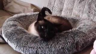 My Talking  Siamese Cat - Malik
