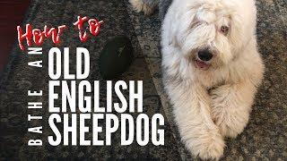 Washing an Old English Sheepdog┃#ourdogWallace┃Ed&Mel