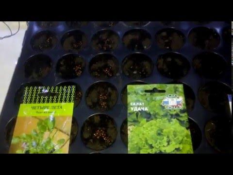 Семена салат руккола