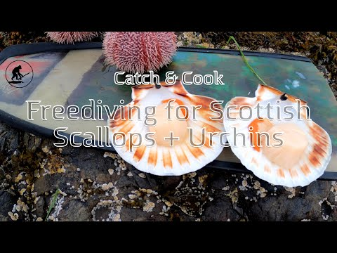 Freediving For King Scallops And Urchins In Scotland - Spearfishing Scotland - Catch And Cook