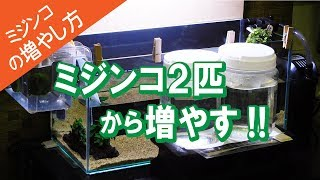 【ミジンコの増やし方】タマミジンコ2匹から繁殖!!