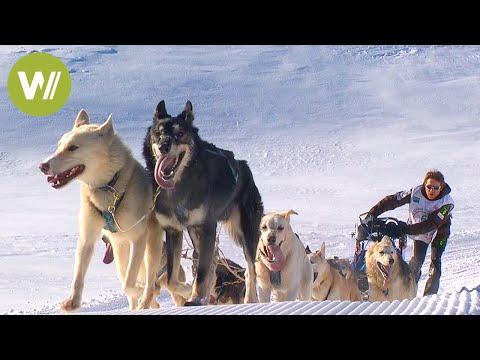 Sled Dog Race In French Alps: La Grande Odyssée Savoie Mont Blanc