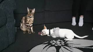 First time Bengal cat meets puppy. Cute!
