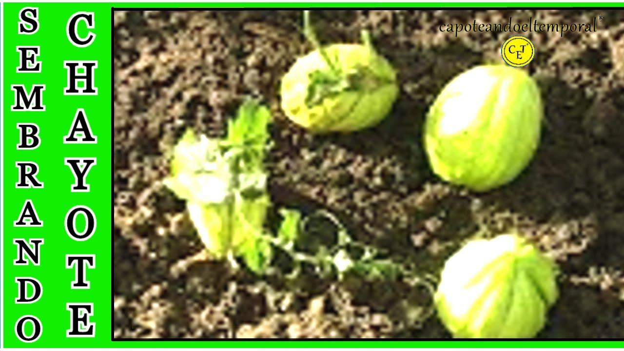 En la huerta como sembrar la patata china o chayote for Como cultivar patatas