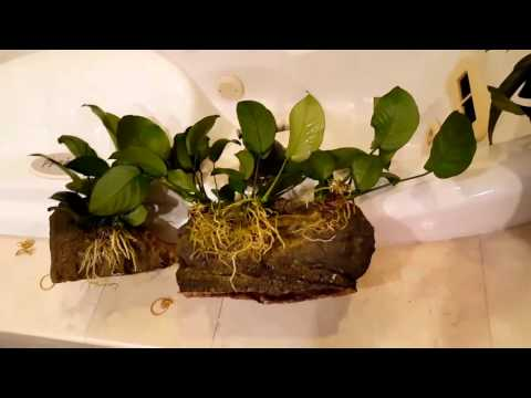 African Cichlids: Live Plants In A Cichlid Tank!