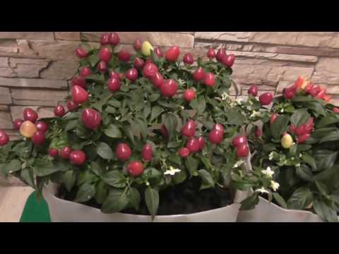 САМЫЙ ЛУЧШИЙ СОРТ ПЕРЦА  ДОМАШНЕГО | реанимация | болгарский | балконный | балконные | помидоры | горький | томаты | сорта | салат | перца