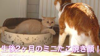 子猫にいっぱい喋りながら戯れる先住猫が笑える!大きさの違う2匹のじゃれあいの様子が可愛いw ♯39