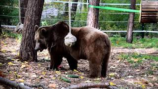 Niedźwiedź Baloo jesienią