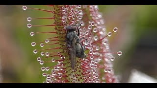 Best of Sundew Timelapses Compilation