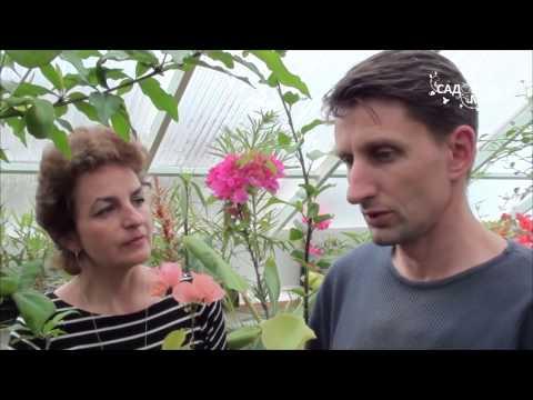 """Как вырастить бугенвиллею дома. Сайт """"Садовый мир"""""""
