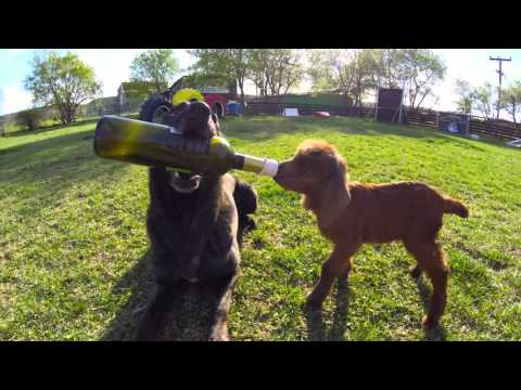 Dog feeding baby goat