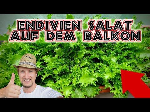 Endivien Salat Anbauen 🥗 Wintersalat Auf Dem Balkon Garten