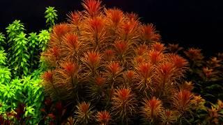 Dutchstyle planted aquarium