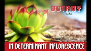 Botany Grade 11 | Morphology Of Angiosperms | In determinant Inflorescence | Section 13
