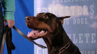 Handsome Doberman Chase Gives Paw And Other Tricks- So Obedient!