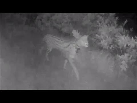 Missing exotic cat spotted on RING camera in Virginia Beach