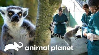 ¡Lémures machos tienen nuevo hogar en Madagascar! | Los Irwin | Animal Planet