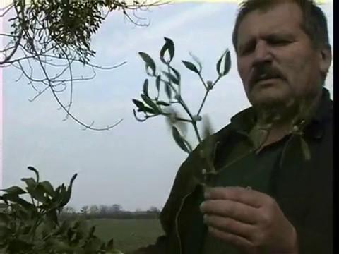 трава которая исцеляет все болезни