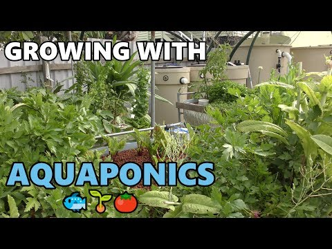 Aquaponic Update | Deep Water Culture, College of Aquaponics & More