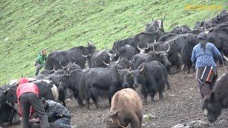 the yak farm || Nepal || dolpa || lajimbudha ||