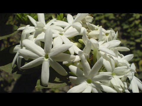 How to Grow and Care Juhi Plant || Jasmine Molle || Fun Gardening || 16 Oct, 2017