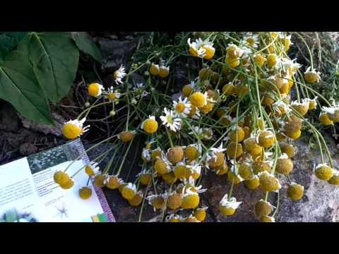 52. сбор трав в июле, августе: РОМАШКА - виды и свойства.