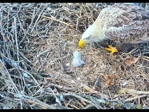 White tailed eagles Hungary 3 11 18 10am & 2pm feeding newly hatched eaglet