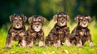 Цвергшнауцер – собака-компаньон