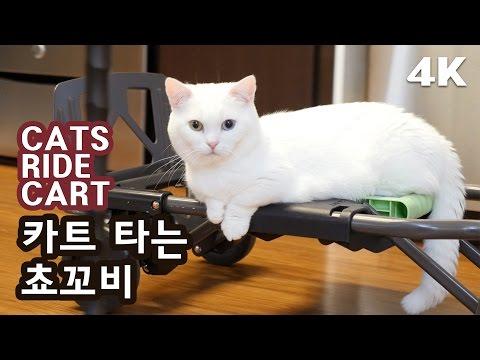 카트 타는 꼬부기 쵸비 [4K] CATS RIDE A CART